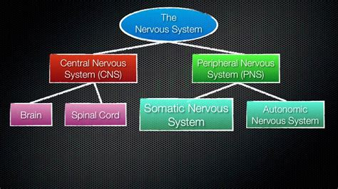 063 The Divisions of the Nervous System - YouTube